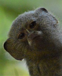 Tiny 5 - Pigmy Marmoset. Photo by Joe Yogerst